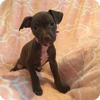 Chihuahua/Terrier (Unknown Type, Medium) Mix Puppy for adoption in South San Francisco, California - Twix