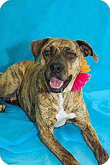 Boxer Mix Dog for adoption in Lima, Ohio - Snickers
