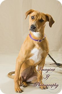 Pit Bull Terrier/Hound (Unknown Type) Mix Dog for adoption in Newcastle, Oklahoma - Bridgette