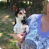 Adopt A Pet :: Amigo - West Columbia, SC