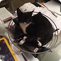 Adopt A Pet :: Stella - New York, NY
