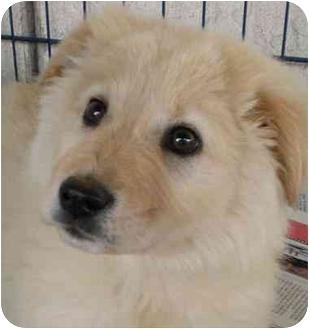 Chow Chow Mix Puppy for adoption in El Cajon, California - Princess