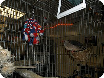 Finch for adoption in Neenah, Wisconsin - Zebra Finches