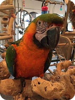 Macaw for adoption in Blairstown, New Jersey - Archie- Catalina