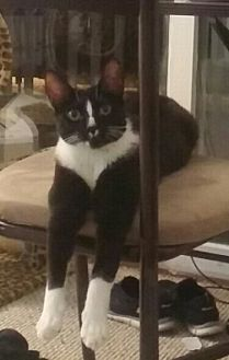 Domestic Shorthair Cat for adoption in Milwaukee, Wisconsin - Cotton