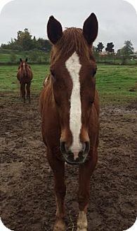 Quarterhorse Mix for adoption in Oakdale, California - Ferguson