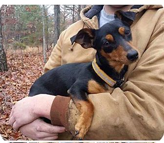 Dachshund Mix Dog for adoption in Allentown, Pennsylvania - Cindy Lou