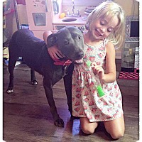 Staffordshire Bull Terrier Dog for adoption in Allen, Texas - Gemma