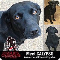 Adopt A Pet :: Calypso - Spring City, PA