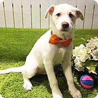 Adopt A Pet :: Oden - Cutie Pie Formosan Terrier Mix - Seattle, WA