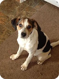 Beagle Mix Puppy for adoption in Albany, New York - Izzy