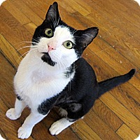 Adopt A Pet :: Bravo - Brooklyn, NY