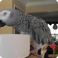 Adopt A Pet :: Ashton - St. Louis, MO