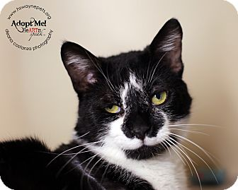 Domestic Shorthair Cat for adoption in Lyons, New York - Hawkeye