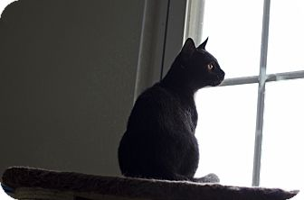 Domestic Shorthair Cat for adoption in Jefferson, North Carolina - Benji