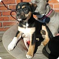 Adopt A Pet :: Joy - Eastpointe, MI