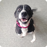 Boston Terrier/Labrador Retriever Mix Dog for adoption in Pompton Lakes, New Jersey - Rosemary