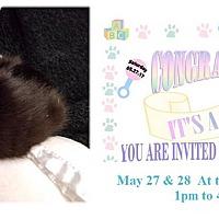 Adopt A Pet :: MIDNIGHT - Northfield, OH