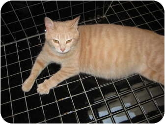 American Shorthair Kitten for adoption in Jeffersonville, Indiana - Stormy