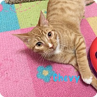 Adopt A Pet :: Chevy - Foothill Ranch, CA