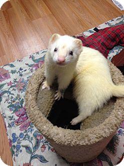 Ferret for adoption in Fawn Grove, Pennsylvania - Rocky