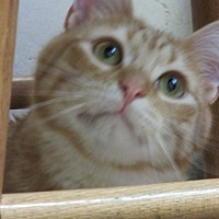 Domestic Shorthair Cat for adoption in Roseville, Minnesota - Kieran