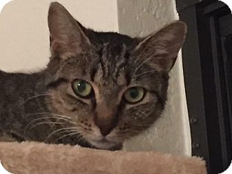 Domestic Shorthair Cat for adoption in Port Charlotte, Florida - Jazz