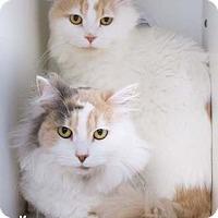 Adopt A Pet :: Lauren - Merrifield, VA