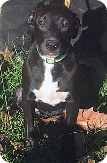 Labrador Retriever Mix Puppy for adoption in Austin, Texas - Louise