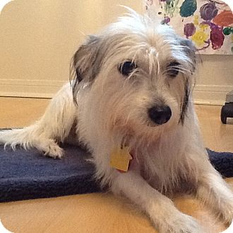 Jack Russell Terrier Mix Dog for adoption in Austin, Texas - Daisy in Houston