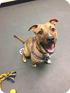 American Staffordshire Terrier Mix Dog for adoption in Grayslake, Illinois - Nikki