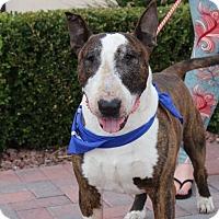 Adopt A Pet :: CAPONE - Las Vegas, NV