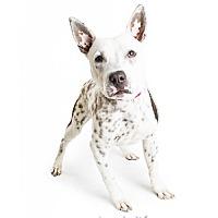 Adopt A Pet :: Trooper - Tempe, AZ