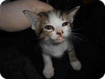 Domestic Mediumhair Kitten for adoption in Long Beach, California - *BEN