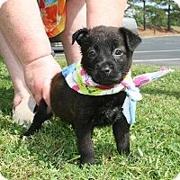 Adopt A Pet :: Sirius - Groton, MA