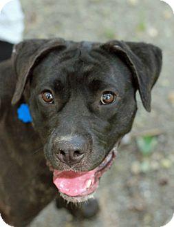 Labrador Retriever/Terrier (Unknown Type, Medium) Mix Dog for adoption in Tinton Falls, New Jersey - Brindy