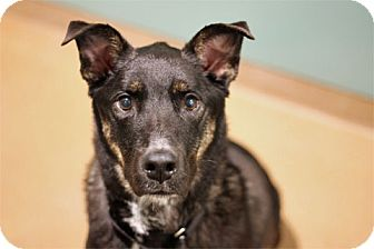 Shepherd (Unknown Type) Mix Dog for adoption in Chicago, Illinois - Fezziwig