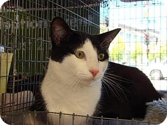 Domestic Shorthair Cat for adoption in Walnut Creek, California - Mikey