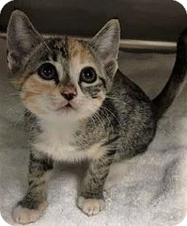 Domestic Shorthair Kitten for adoption in Chattanooga, Tennessee - Beasley
