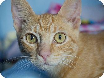 Domestic Shorthair Kitten for adoption in Los Angeles, California - Pupusa