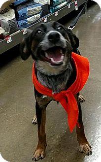 Cattle Dog/German Shepherd Dog Mix Dog for adoption in Akron, Ohio - Astra