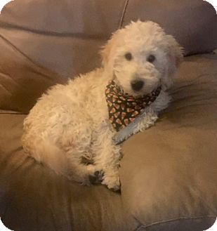 Labradoodle Puppy for adoption in Murrieta, California - Dylan