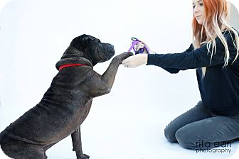 Shar Pei Mix Dog for adoption in Mira Loma, California - Sargent Tim - pending