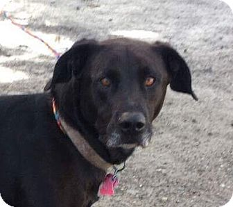 Labrador Retriever Mix Dog for adoption in Chico, California - Bear