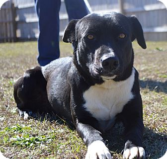 Labrador Retriever Mix Dog for adoption in Glenburn, Maine - BLAINEY