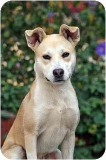 Shiba Inu/Basenji Mix Dog for adoption in West Los Angeles, California - Vern