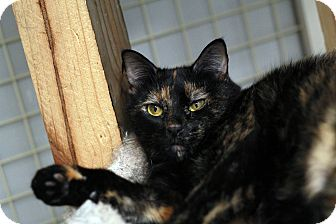 Domestic Shorthair Cat for adoption in St. Louis, Missouri - Rosalita