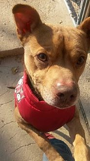 Terrier (Unknown Type, Medium) Mix Dog for adoption in De Soto, Missouri - Sammy