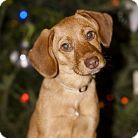 Adopt A Pet :: Summer - Owensboro, KY
