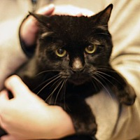 Domestic Shorthair Cat for adoption in Beacon, New York - Franklin